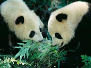 Pandas Eating Bamboo, Wolong, Sichuan, China by Keren Su