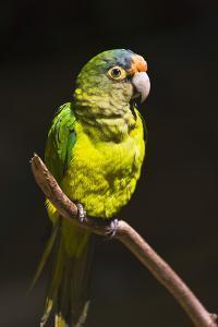 Parrot, Honduras by Keren Su