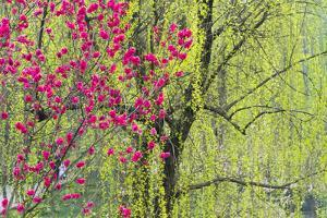 Peach flowers and willow trees, Sichuan Province, China by Keren Su