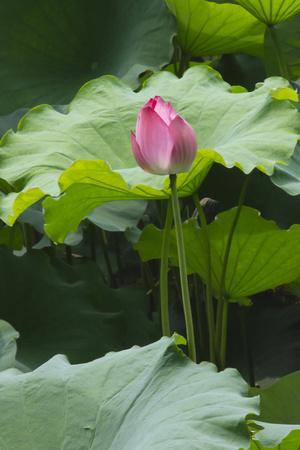 Pink delicate lotus in a pond, Suzhou, Jiangsu Province, China
