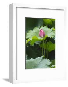 Pink delicate lotus in a pond, Suzhou, Jiangsu Province, China by Keren Su