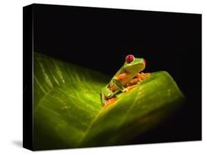 Red-eyed tree frog on leaf by Keren Su