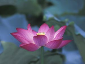 Red Lotus Flower, Hangzhou, Zhejiang Province, China by Keren Su