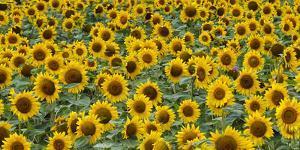 Sunflowers in the flower farm, Furano, Hokkaido Prefecture, Japan by Keren Su