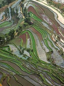 Terraced Rice Fields by Keren Su