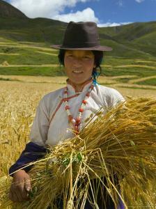 Tibetan Farmer Harvesting Barley, East Himalayas, Tibet, China by Keren Su