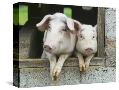 Two Pigs Leaning Out of Pen