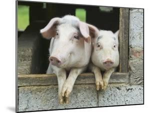 Two Pigs Leaning Out of Pen by Keren Su