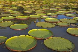 Victoria Amazonica Lily Pads on Rupununi River, Southern Guyana by Keren Su