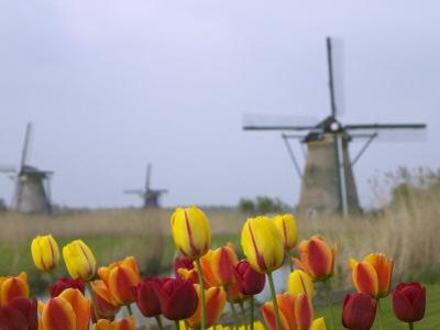 Windmills and Tulips Along the Canal in Kinderdijk, Netherlands