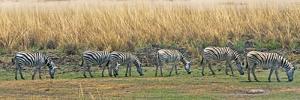 Zebras, Chobe National Park, North-West District, Botswana by Keren Su