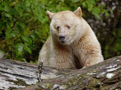 Kermode Spirit Bear, White Morph of Black Bear, Princess Royal Island, British Columbia, Canada-Eric Baccega-Photographic Print