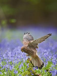 Kestrel Female Landing on Stump in Bluebell Wood