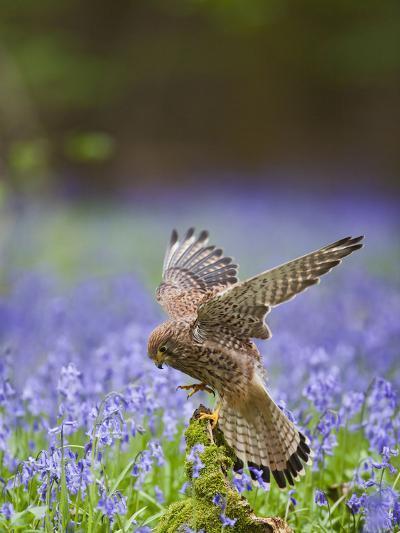Kestrel Female Landing on Stump in Bluebell Wood--Photographic Print