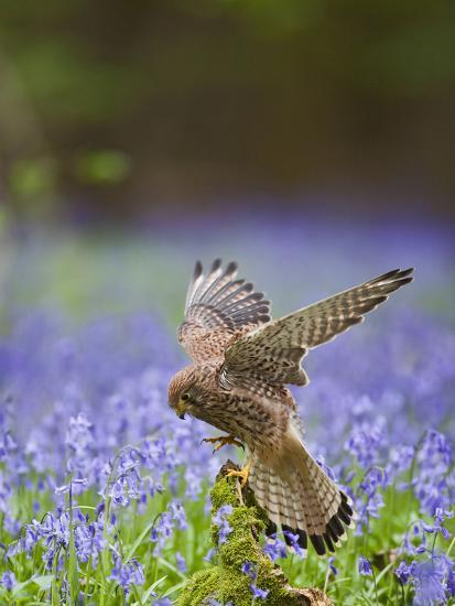 Kestrel Female Landing on Stump in Bluebell Wood--Photographic Print
