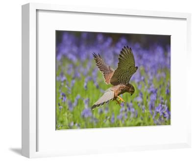 Kestrel Male Hunting in Bluebells