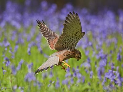 Kestrel Male Hunting in Bluebells--Photographic Print