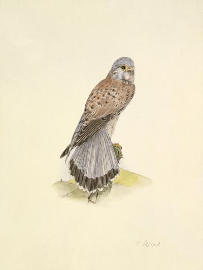 Kestrel-C.T.N. Ackland-Premium Giclee Print