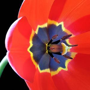 Red Tulip (Tulipa) - Liliaceae by Kev Vincent Photography