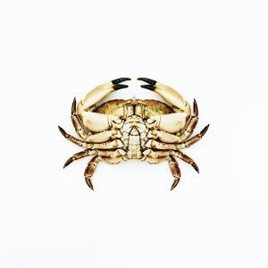Common Crab by Kevin Curtis