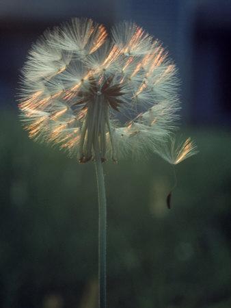 Dandelion Backlit by the Sun