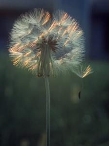 Dandelion Backlit by the Sun by Kevin Leigh