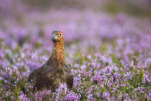 Red Grouse (Lagopus Lagopus), Yorkshire Dales, England, United Kingdom, Europe by Kevin Morgans