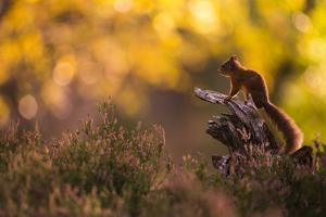 Red squirrel (Sciurus vulgaris) and autumnal colours, Cairngorms National Park, Scotland, United Ki by Kevin Morgans