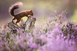 Red squirrel (Sciurus vulgaris) in blooming heather, Cairngorms National Park, Scotland, United Kin by Kevin Morgans
