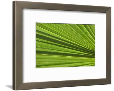 California, Palm Springs, Indian Canyons. California Fan Palm Frond