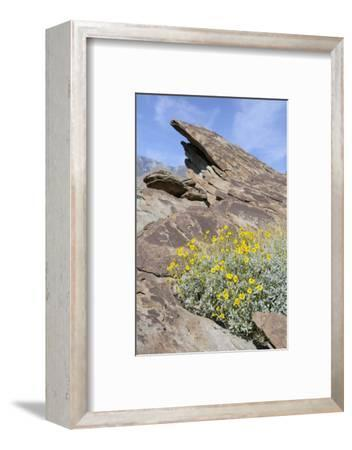 California, Palm Springs, Indian Canyons. Desert Marigold