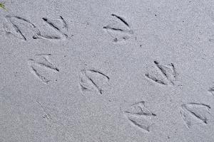 Canada, B.C, Sidney Island. Gull Footprints, Gulf Islands National Park Reserve by Kevin Oke