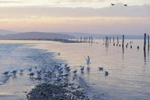 Canada, B.C, Sidney Island. Gulls at Sunset, Gulf Islands National Park Reserve by Kevin Oke