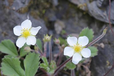 Canada, B.C, Vancouver Island. Coastal Strawberry, Fragaria Chiloensis