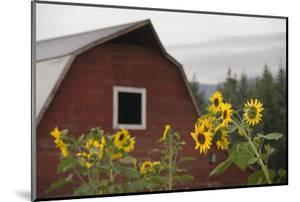 Canada, B.C., Vancouver Island, Cowichan Valley. Sunflowers by a Barn by Kevin Oke