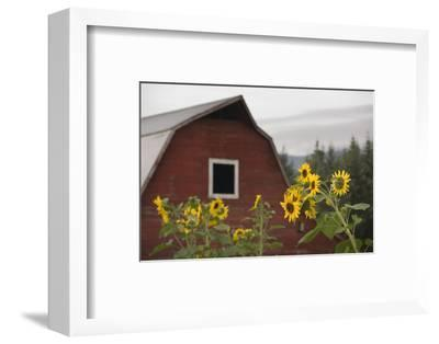 Canada, B.C., Vancouver Island, Cowichan Valley. Sunflowers by a Barn