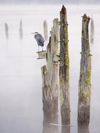 Canada, B.C, Vancouver Island. Great Blue Heron on an Old Piling