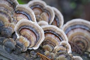 Canada, B.C, Vancouver. Turkey Tail Polypore Macro Photograph by Kevin Oke