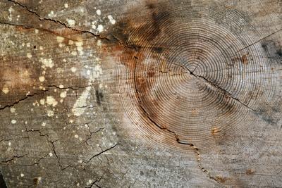 Canada, British Columbia, Cabbage Island. Cut Cedar Log Showing Age Rings