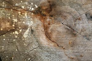 Canada, British Columbia, Cabbage Island. Cut Cedar Log Showing Age Rings by Kevin Oke
