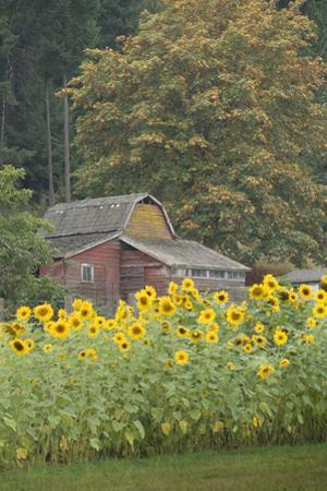 Canada, British Columbia, Cowichan Valley. Row of Sunflowers and Old Red Barn by Kevin Oke