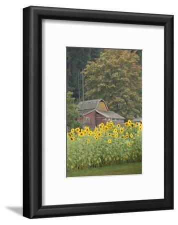Canada, British Columbia, Cowichan Valley. Row of Sunflowers and Old Red Barn