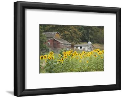Canada, British Columbia, Cowichan Valley. Sunflowers in Front of Old Buildings, Glenora