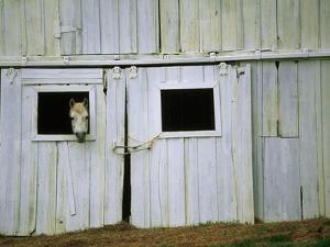 Horse Peering Through Barn Door by Kevin R. Morris