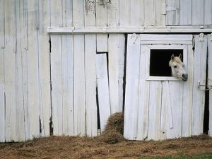 Horse Sticking Head out Barn Window by Kevin R^ Morris