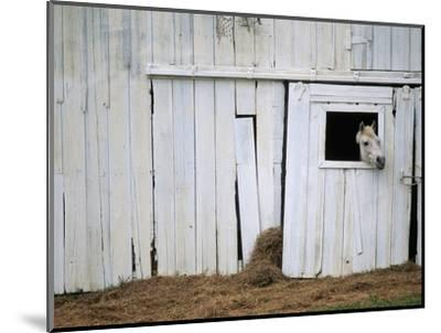 Horse Sticking Head out Barn Window by Kevin R. Morris