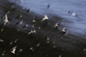 Bats (Several Species) Emerge from a Cave at Dusk. Calakmul Biosphere Reserve, Yucatan, Mexico by Kevin Schafer