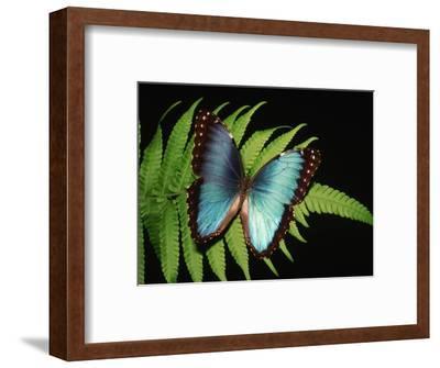 Blue Common Morpho Butterfly on Fern Frond