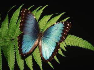Blue Common Morpho Butterfly on Fern Frond by Kevin Schafer