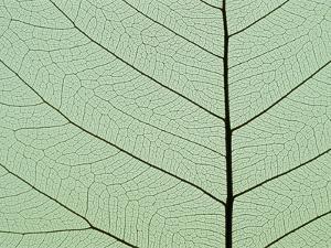 Bo Tree Leaf by Kevin Schafer